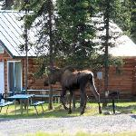 Moose in Front of Cabins