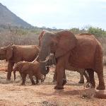 Elephants at Tsavo