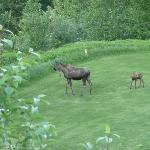Moose on the loose!