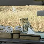 Cheetah cub on the vehicle bonnet/hood