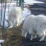 Rocky Mountain goats.  There is an actual herd in the park.