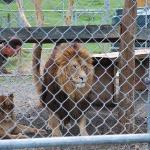 "Voici Aslan, le lion du film 'Narnia"""