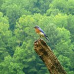 Eastern Bluebird at Mountain Farm Museum