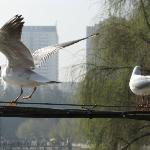 西伯利亞紅嘴鷗每年都會大舉飛來翠湖公園過冬