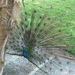 Peacock in the hotel grounds