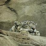 Cutest. Snow Leopard. Ever.