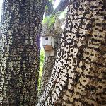 Woodpecker holes and nest at Jughandle Creek farm