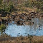Cape Buffalo in front of lodge