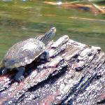 Turtle, sunbathing near Sultaniya