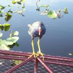 Wayne attracting a purple gallinule