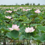 gorgeous lotus blooms