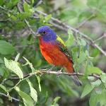 Painted Bunting male at QHR