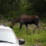 Moose in the front yard