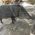 wild boar - friendly like a dog - this one is a pet