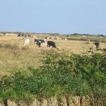 cows next to garden