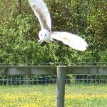 Arwel the barn owl