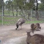 Free roaming emus and roos