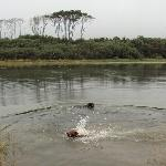 Our dogs swimming at the mouth of the river