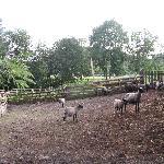 Sheeps at the farm