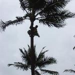 A Samoan climing the coconut tree
