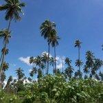 Palm Trees, Vanuatu