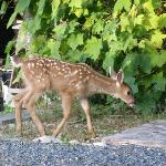 Fawn in the garden..