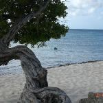 Divi divi tree on Eagle Beach with a pelican in the water looking for his dinner