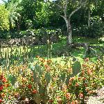 Anse Latouche - cactus