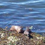 Otters, Victoria, near Ocean View B&B