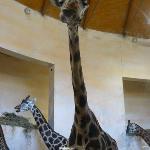 Giraffina a Praga