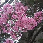 Cerezo en Flor, Yoyogi Park, Tokyo