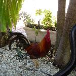 Jack the resident rooster