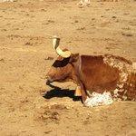 It's Bandit Cattle!