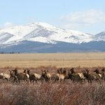 This morning I was watching elk from my office window, they headed across the BLM land towards s