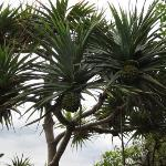 Strange plant ! Pineapples grow on trees ???