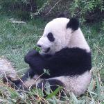 Chomp chomp. the panda has an additional digit to help it grasp the bamboo leaves, and it handle