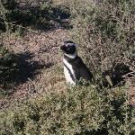 Punta Tombo - Pingüinera