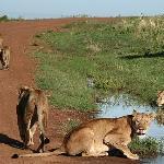 NP Masai Mara, Kenya, 2006