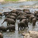 Halbtagesausflug von der Villa Rosa zum Elefantenweisenhaus in Pinnewala