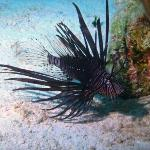 The Lionfish - invading the Carribean!