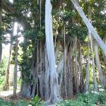 Ficus Macrophylla ssp. columnaris