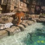 Le tigre du Bengale est solitaire et nocturne et n'aime pas partager son domaine avec d'autres t