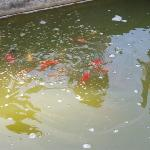 A fish pond in the garden!