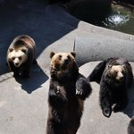 bear waiting for food. noboribetu bear ranch 登别熊牧场