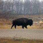 Büffel in sicht...