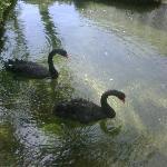 Black Swans at the Hyatt