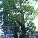 尾鷲神社大楠の木
