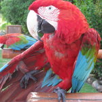 One of the parrots.