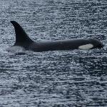 Orca at Kenai Fjords