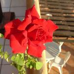 The rose on our patio.